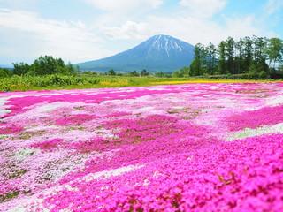 北海道の風景 羊蹄山と芝桜