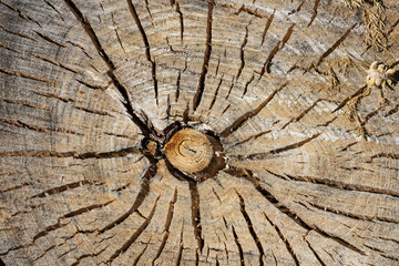 Acrylic Prints Top view of a wooden natural stump on a sunny day. Texture of cut tree closeup.