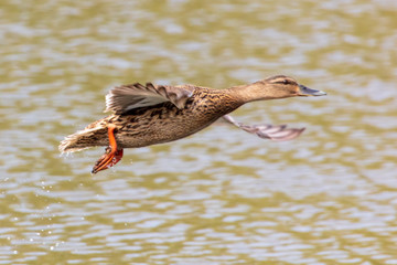Duck in flight over the pond