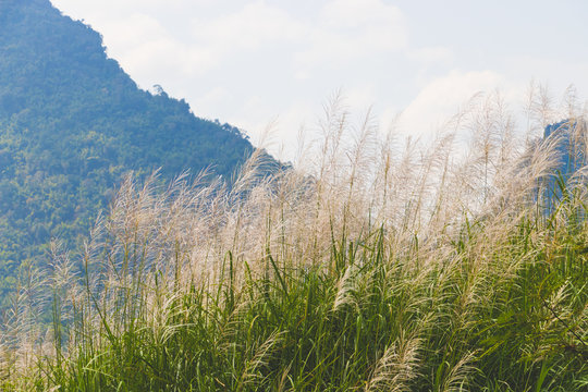 Pink grasses in the summer. Bamboo grass or Tiger grass (Thysanolaena latifolia).
