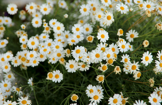 Floral background. A lot of white daisies on a flowerbed in the garden. Horizontal, nobody, Cropped shot. The concept of botanical beauty.
