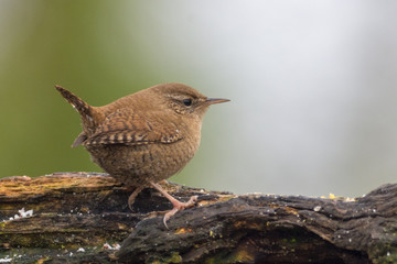 Wall Murals Nature Little wren on a branch