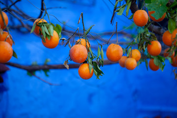 Oranges on branches of tree