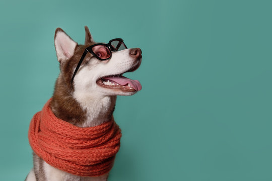 Adorable Siberian Husky dog with warm orange scarf and glasses on turquoise background. Dog looks right