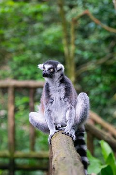 A grey ring tailed lemur sitting on a wooden railing and staring into space