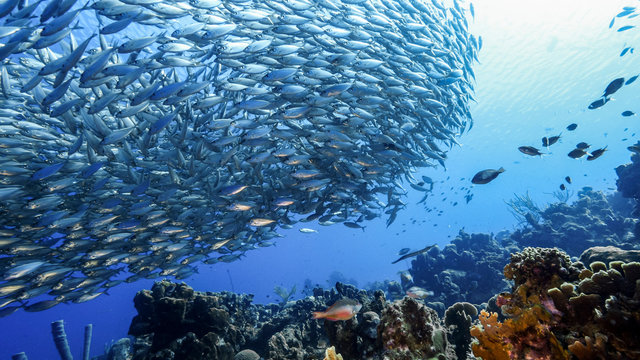 Bait ball in coral reef of Caribbean Sea around Curacao