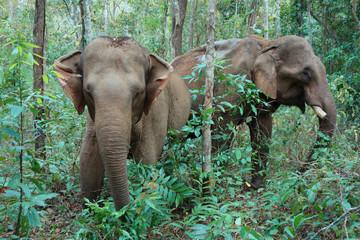 Tuinposter Olifant Two elephants in Mondulkiri