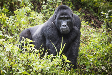 Foto op Aluminium Aap Mountain gorilla stands in rich vegetation and looks towards camera in Bwindi Impenetrable National Park in Uganda