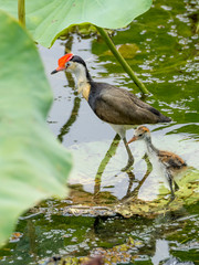 Beautiful Comb-crested jacana bird with chick on floating leaf, Kakadu Park, Australia