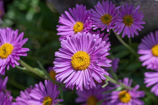 Top view of light violet flower head of china aster