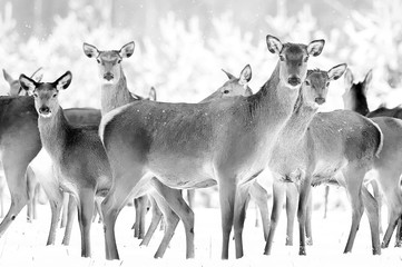 Wall Mural - Group of beautiful female deer on the background of a snowy winter forest. Noble deer (Cervus elaphus). Artistic Christmas winter image. Black and white.