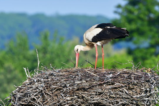 female of stork and its care about progeny, village Zahlinice in Czech republic