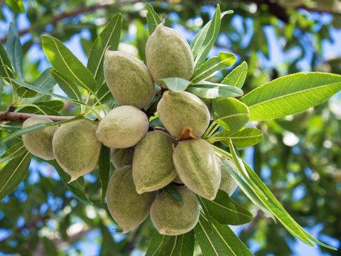 Unrape almond on a tree in Spanish forest. Prunus dulcis.