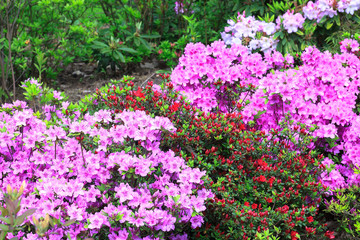 Bush with pink flowers Rhododendron growth in spring garden