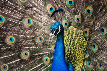 colorful peacock tail, a bird in the zoo, close up