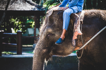 Elephant with a human sitting on its head in Indonesia