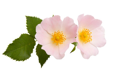 wild rose flower isolated