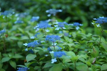 長谷寺の植物、花、紫陽花