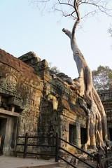 ta prohm temple in angkor cambodia