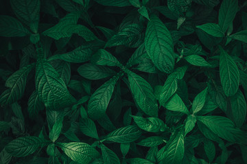 Wall Mural - Foliage of tropical leaf in dark green texture, abstract pattern nature background. vintage color tone.