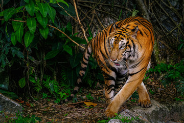 Foto auf Acrylglas Tiger The Siberian tiger (Panthera tigris tigris) also called Amur tiger