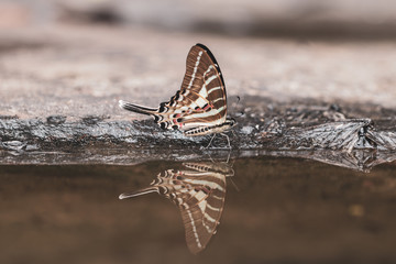 Printed kitchen splashbacks Butterflies in Grunge Close up Tail Jay butterfly in nature background.