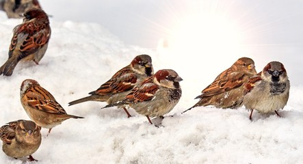 Hungry sparrows on snow looking for food in spring