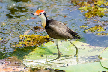 Beautiful Comb-crested Jacana on floating leaf, Kakadu Park, Australia