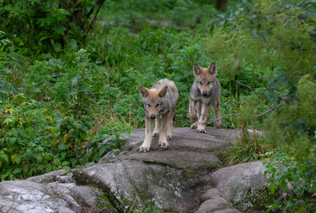 Timber wolf or grey wolf Canis lupus pups walking on a rocky cliff in summer in Canada
