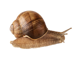 Snail creeps or Roman snail or Helix pomatia isolated. Image included clipping path