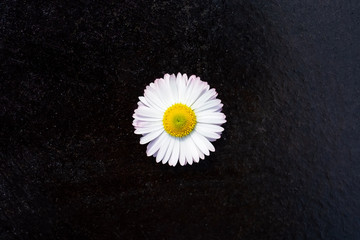 One white daisy flower isolated on black background. Flat lay, top view
