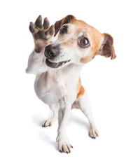 Friendly waving paw dog. Small joy pet. Enjoying life positive dog