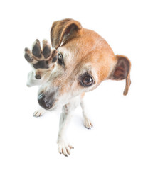 High five waving dog. Funny adorable dog power. White background. Party pet