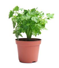 Fototapeta Fresh green organic parsley in pot on white background obraz