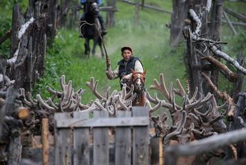 A breeder drives deers at maral farm in Kasymbek gorge in Kazakhstan