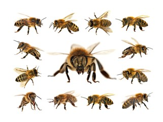Photo sur Aluminium Bee bee or honeybee isolated on the white background