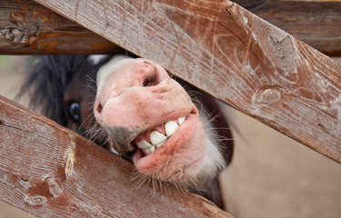 pony mouth with teeth. a pony looks out from behind a fence