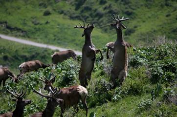 Deers graze at maral farm in Kasymbek gorge in Kazakhstan