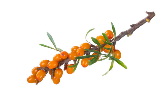 branch with sea buckthorn with green leaves isolated on white