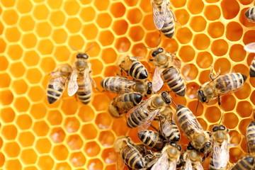 arbeitende Bienen beim Honigsammeln
