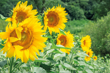 sunflowers in the field. bees gathering pollen. beautiful bright summer nature background. blurry background of forest. windy day