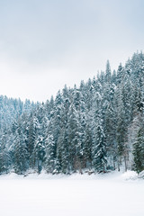 spruce forest in winter. cold gloomy weather on an overcast day. trees in snow.