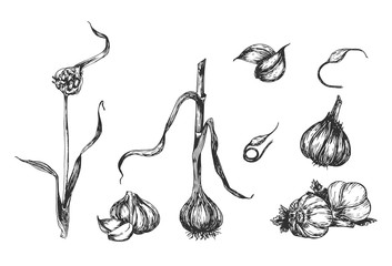 Stages of garlic plant sprouting Wall mural