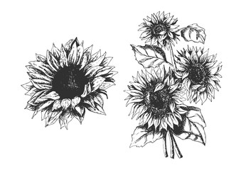 Isolated hand drawn sunflowers set