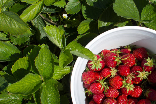 Strawberry picking in a berry farm on a sunny day. Fresh strawberries in a white bucket.