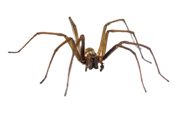Giant house spider frontal isolated on white background