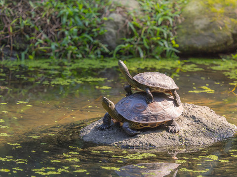 Two freshwater turtle standing on the rock in a shallow pond. A child climbing over its parent.