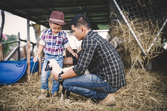 father and son in sheep farm; Farmers take care and feed the animals on the farm.sheep and goat in countryside farm