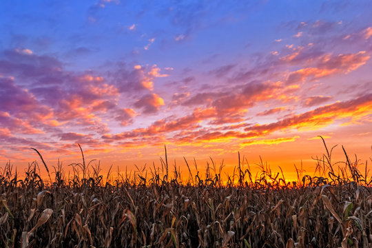 Vibrant Autumn Harvest - Corn stalks are silhouetted by a beautiful, vibrant sunset in the American Midwest.
