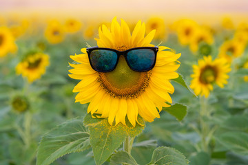 sunglasses of Sunflower blooming in Sunflowers garden